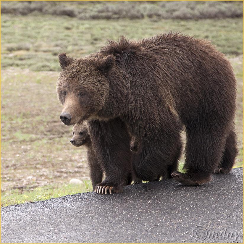 5Dllc7204Griz&Cubs(5.5x5.5,cpywrt)