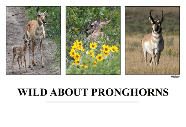10.WildAboutPronghorns(7.5x5.1,150rr)