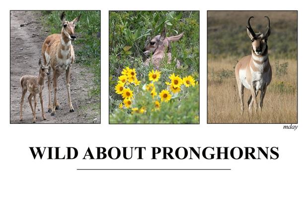 10.WildAboutPronghorns(7.5x5.1,150rr)